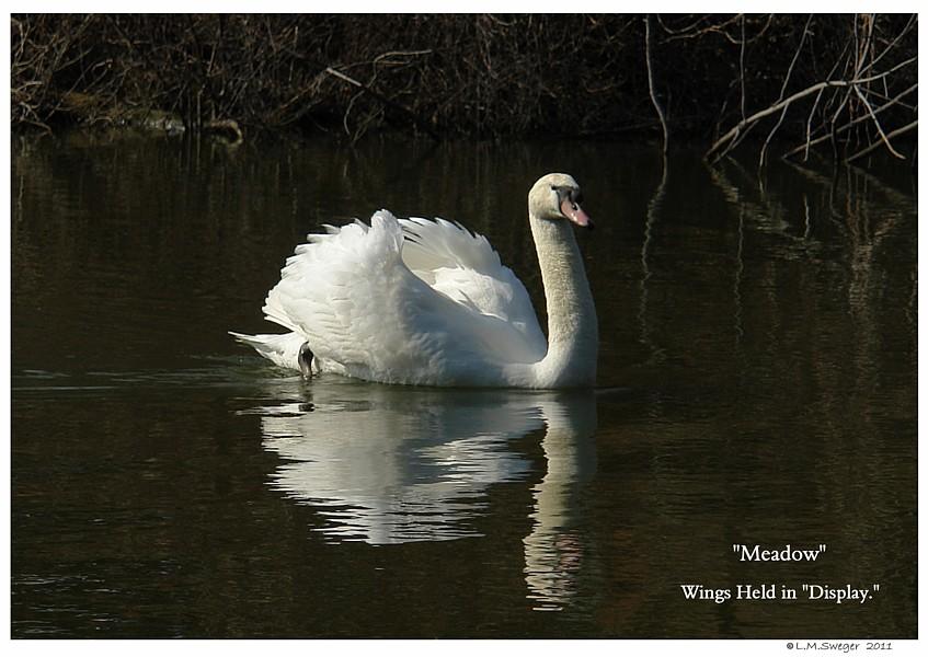 Common Mute Swan Behavior   Wings in Display