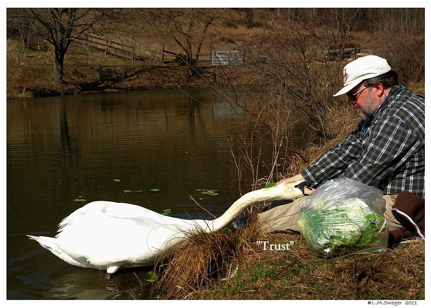 Common Mute Swan Behavior  Cob  Non Aggressive