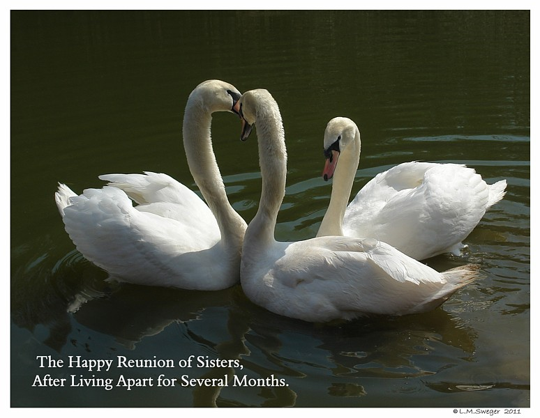 Common Mute Swan Behavior   Upper Neck Swollen with Happy Emotion
