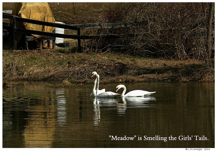 Common Mute Swan Behavior   Mating