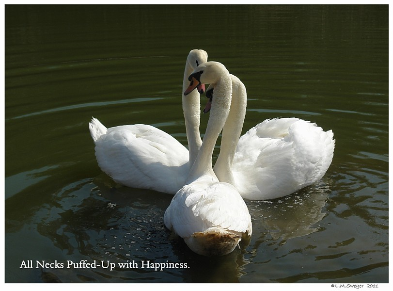 Common Mute Swan Behavior   Affectionate Greeting