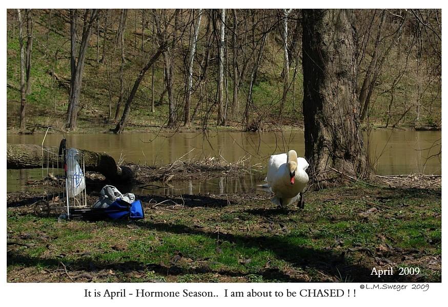 Common Mute Swan Behavior  Aggressive Hormonal