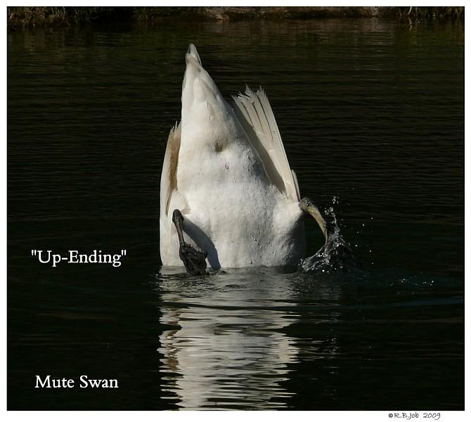 Common Mute Swan Behavior   Eating Under Water