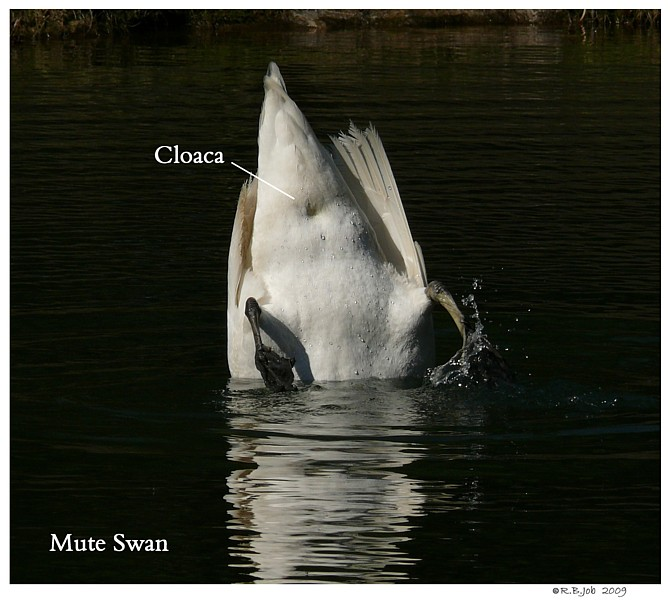 Common Mute Swan Behavior   Mating