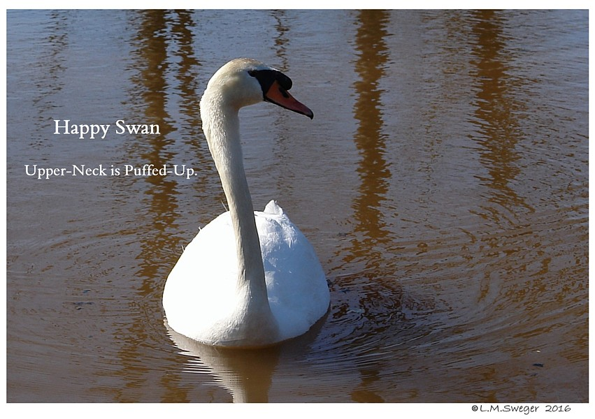 Common Mute Swan Behavior  Curious   Happy