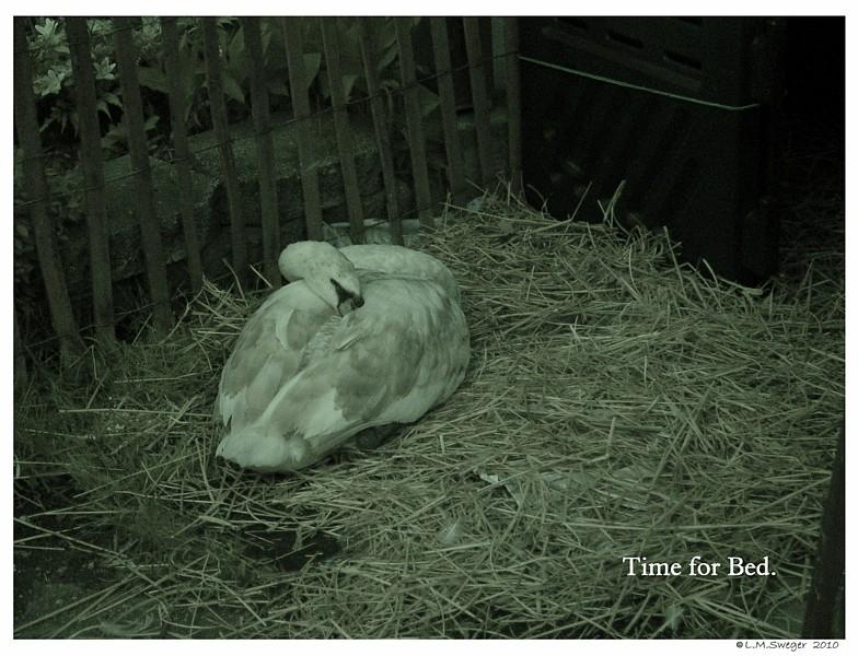 Common Mute Swan Behavior   Sleeping   Nap