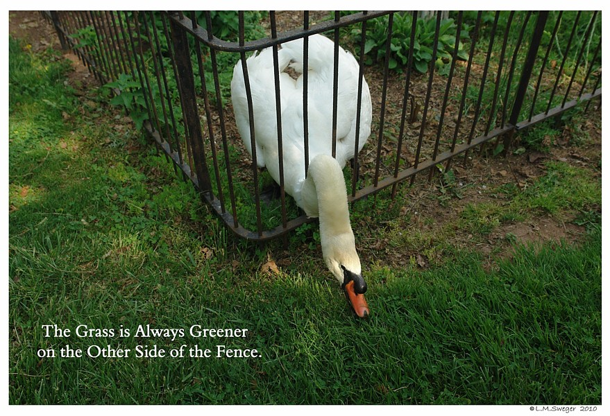 Common Mute Swan Behavior  Aggressive Hormonal