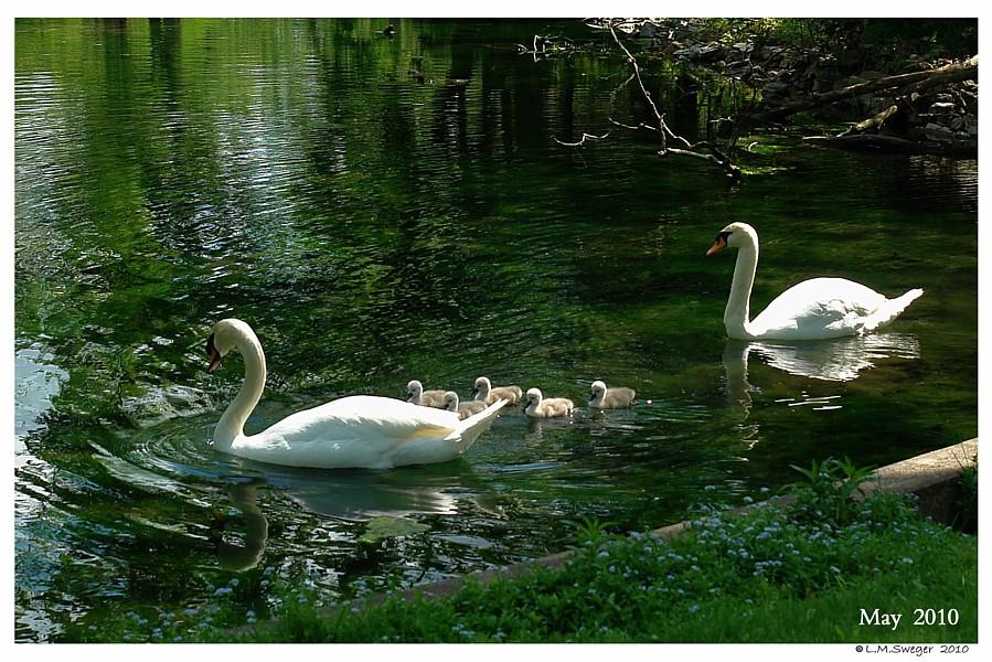 Common Mute Swan Behavior  Cob Protecting Family Cygnets