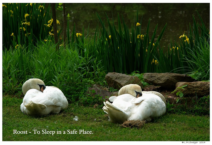 Common Mute Swan Behavior   Sleeping  Nap