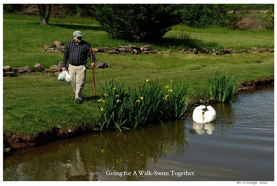 Common Mute Swan Behavior  Cob  Walking