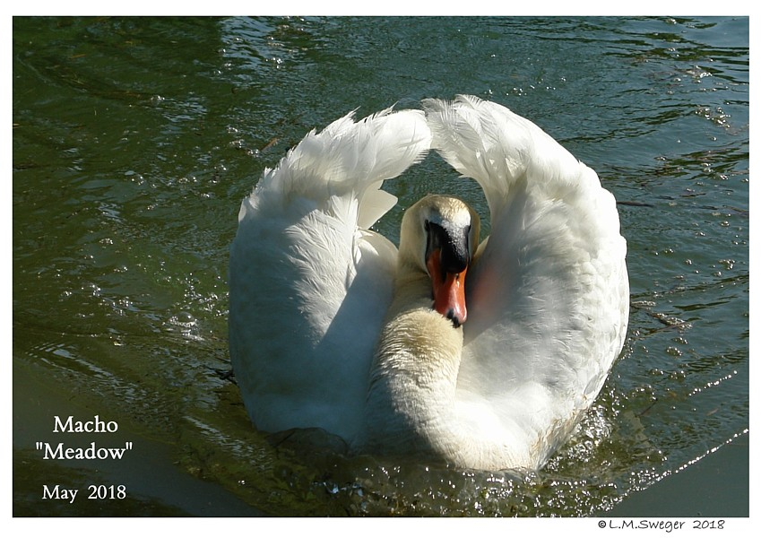 Common Mute Swan Behavior   Wings in Display  Busking