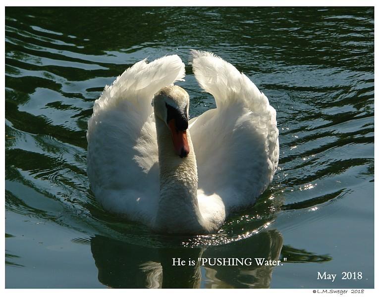 Common Mute Swan Behavior   Wings in Display  Busking