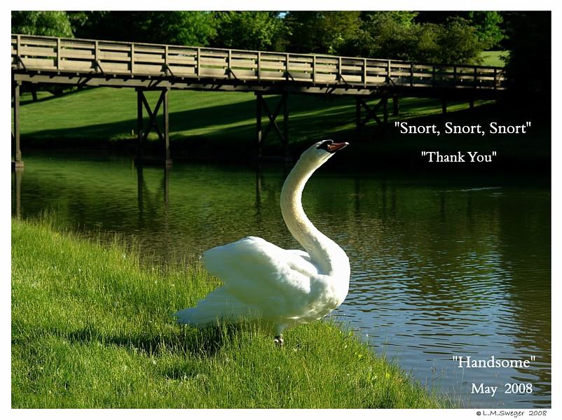 Common Mute Swan Behavior   Snorting Thank You