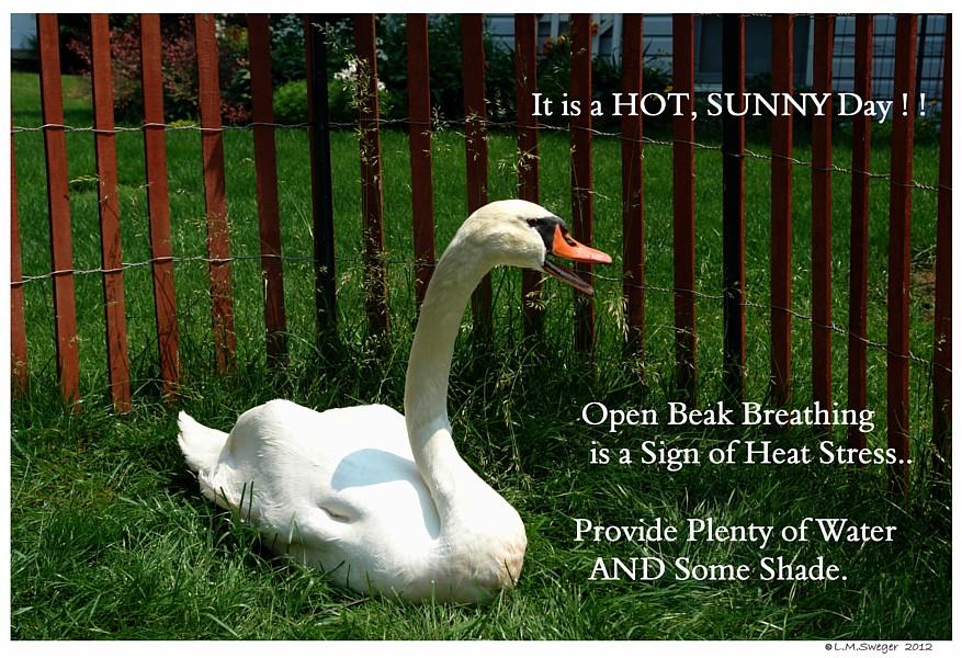 Common Mute Swan Behavior Heat Hot Stress
