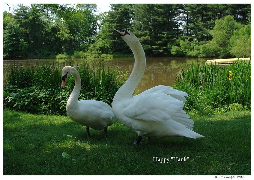 Common Mute Swan Behavior   Happy Snorting