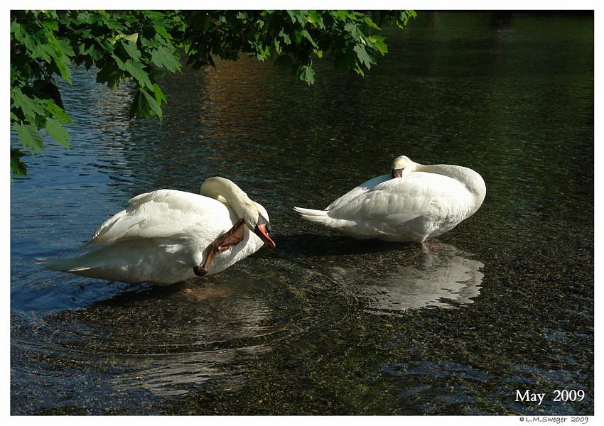 Common Mute Swan Behavior   Preening Together