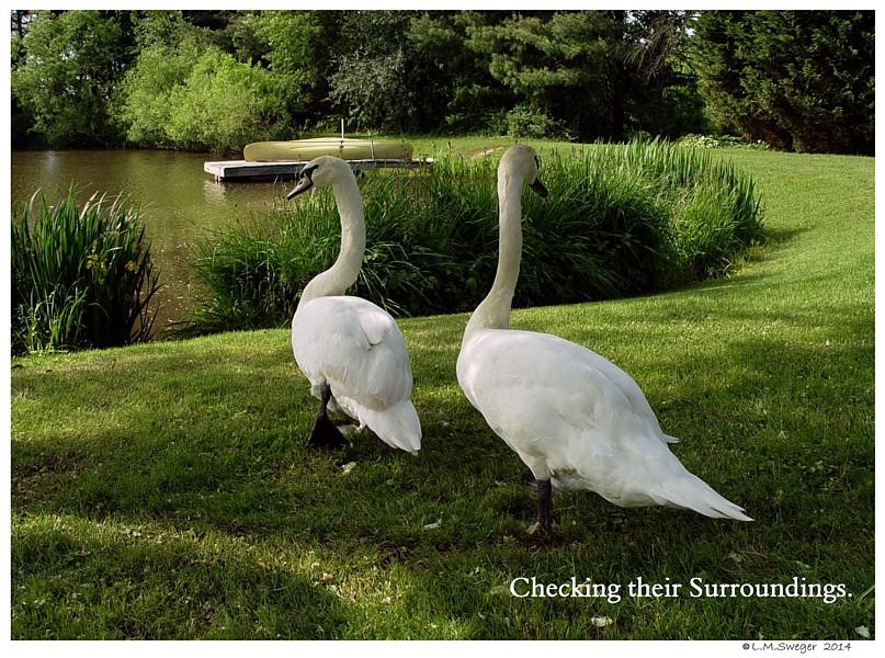 Common Mute Swan Behavior  Cautious Visit