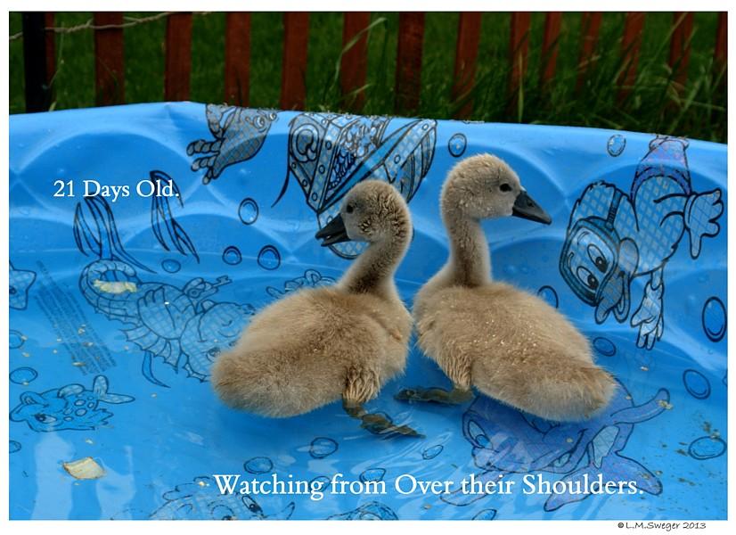 Common Mute Swan Behavior  Looking Over Shoulder