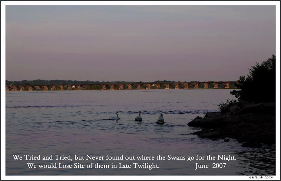 Common Mute Swan Behavior  Watching  Sun Rise  Sun Set