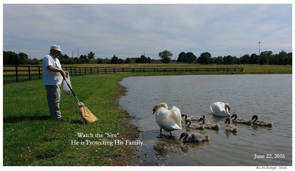 Common Mute Swan Behavior  Cob Protecting Family