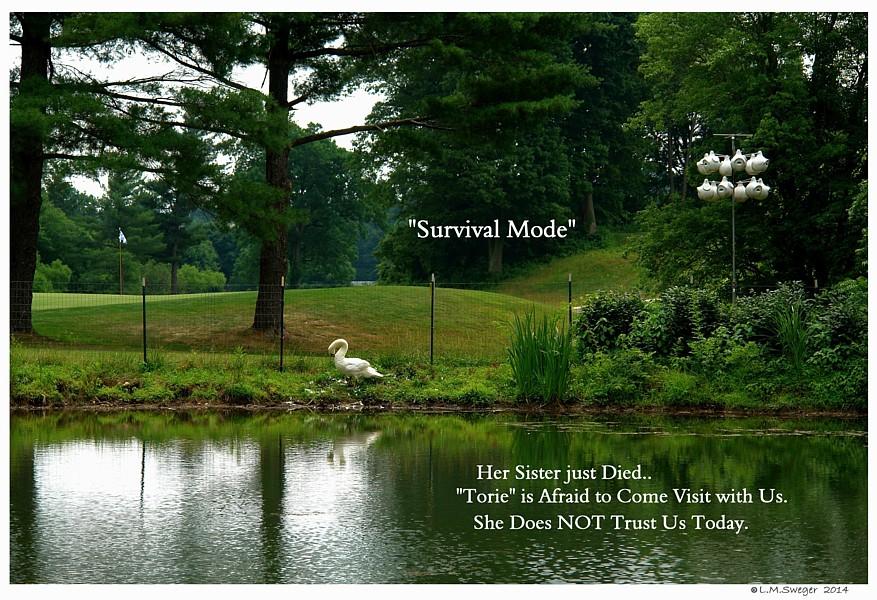 Common Mute Swan Behavior  Survival Mode