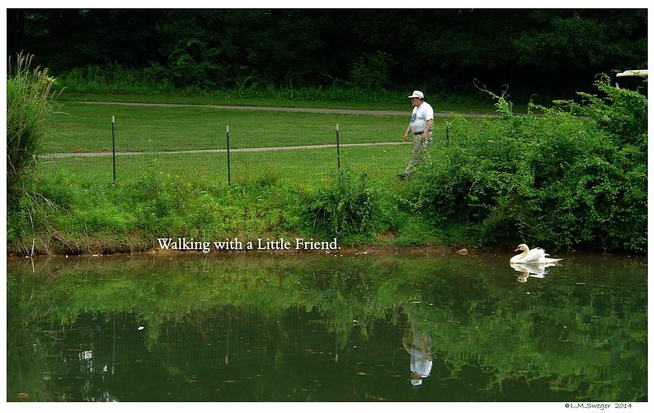 Common Mute Swan Behavior  Cygnet  Walking
