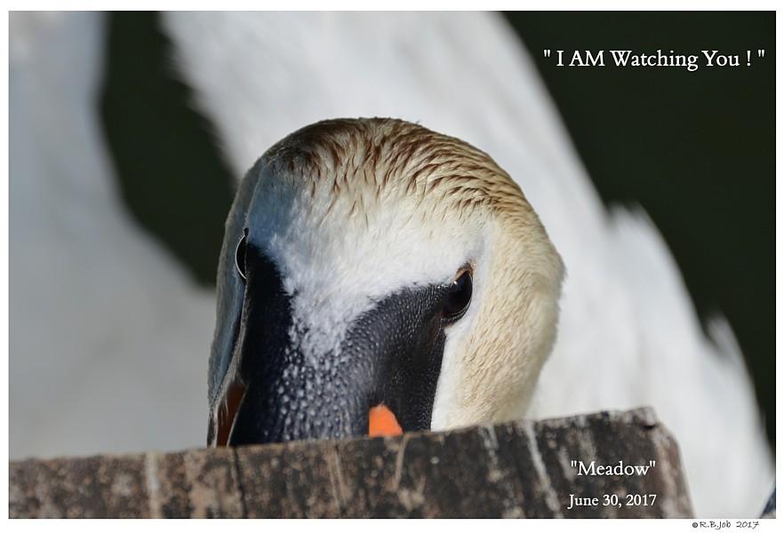 Common Mute Swan Behavior  Cob  Non Aggressive  Biting Boots