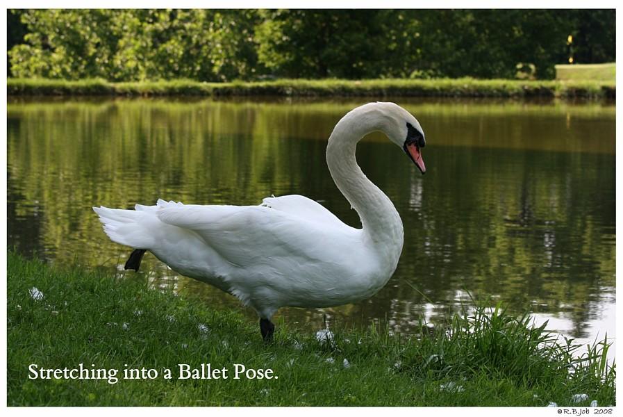 Common Mute Swan Behavior   Swan Stretching Leg Foot