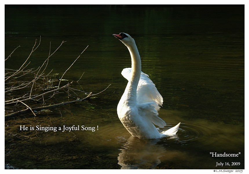 Common Mute Swan Behavior   Joyful Singing