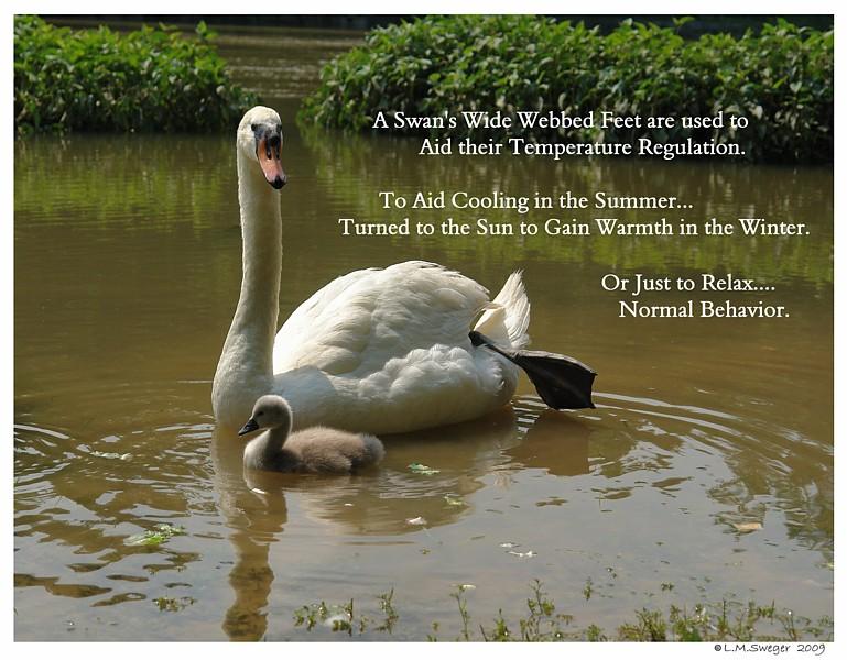 Common Mute Swan Behavior   Swan Leg Foot on Back