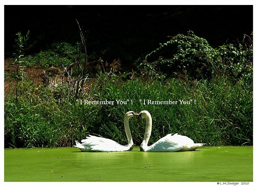 Common Mute Swan Behavior  They Remember