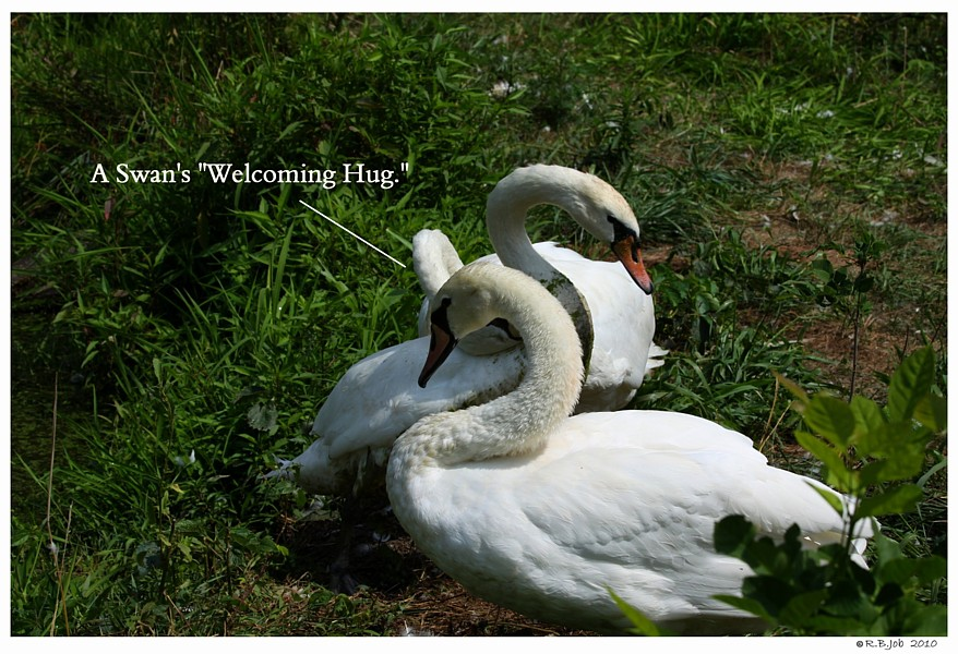 Common Mute Swan Behavior  They Remember Happy  Hug
