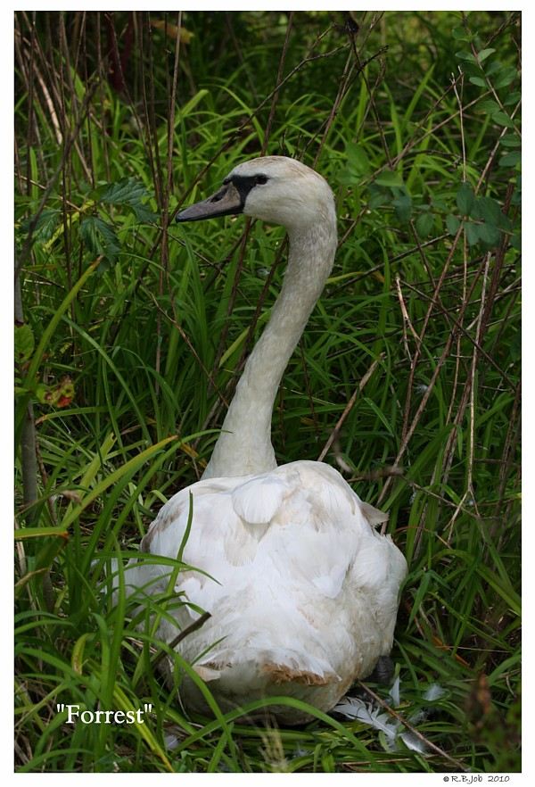 Common Mute Swan Behavior  Looking Over Shoulder