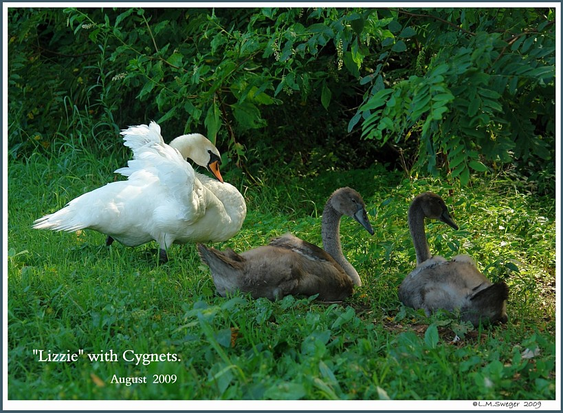 Common Mute Swan Behavior  Dam with Cygnets