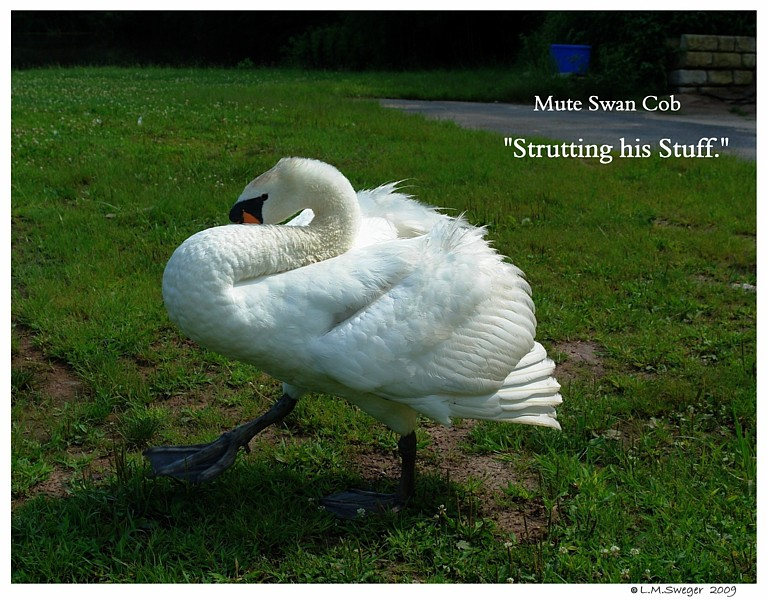Common Mute Swan Behavior  Strutting