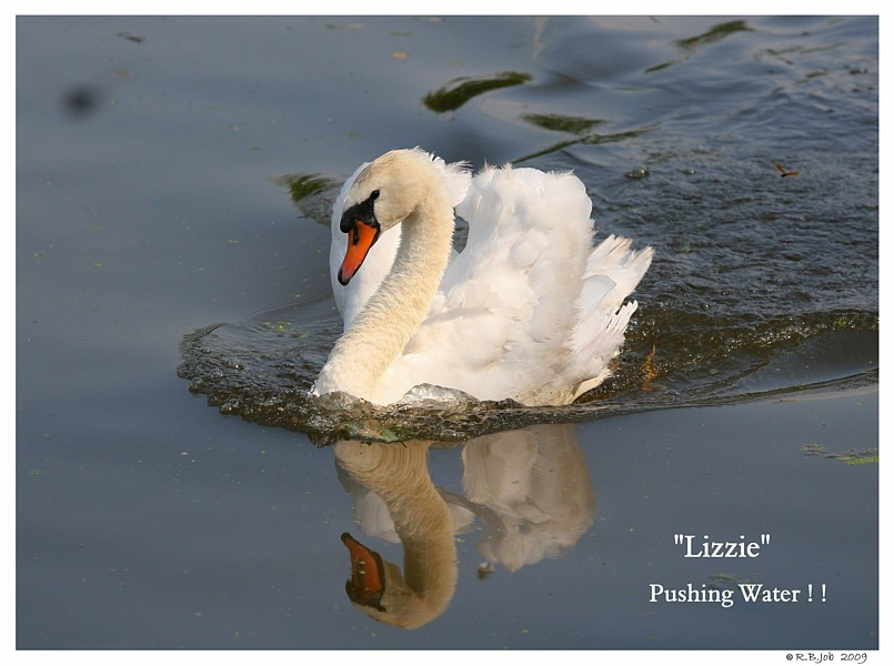 Common Mute Swan Behavior  Pushing Water