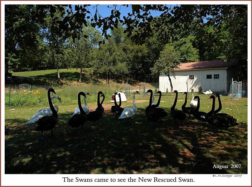 Common Mute Swan Behavior  Curious