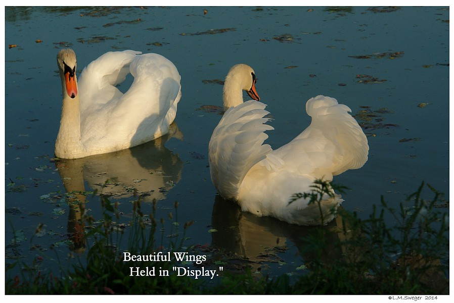 Common Mute Swan Behavior   Wings in Display