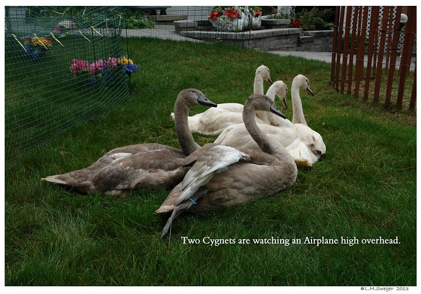Common Mute Swan Behavior   Curious  Alert