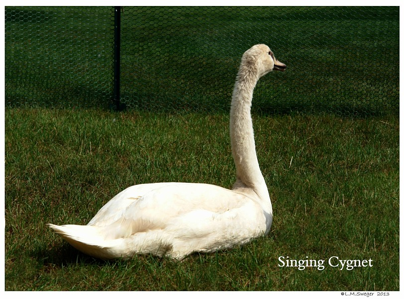 Common Mute Swan Behavior   Some Swans Sing