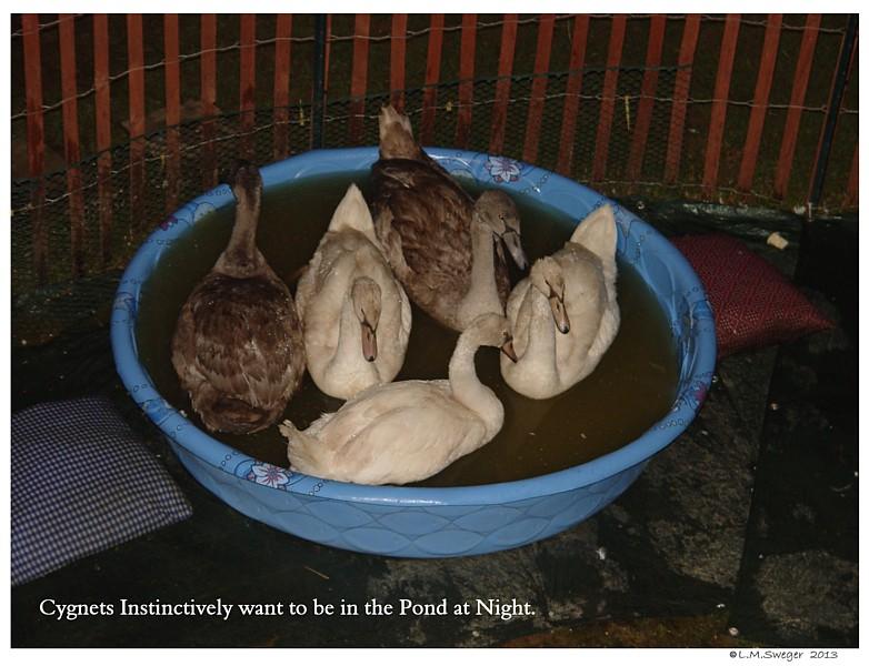Common Mute Swan Behavior  Instinct to Sleep on Water