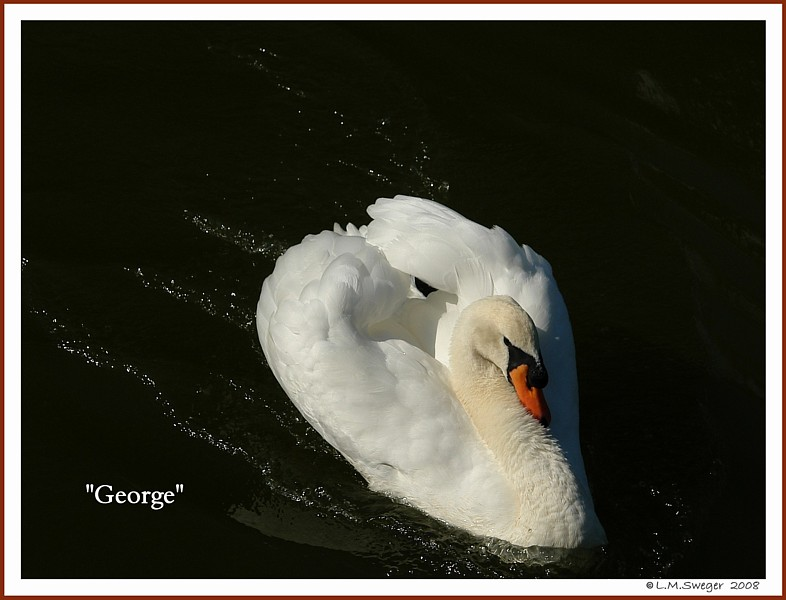 Common Mute Swan Behavior  Cob