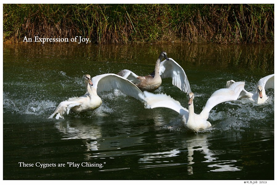 Common Mute Swan Behavior  Play Chasing