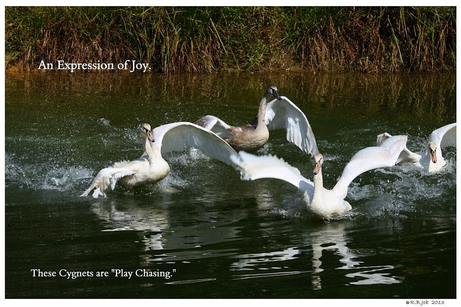 Common Mute Swan Behavior  Play Chasing