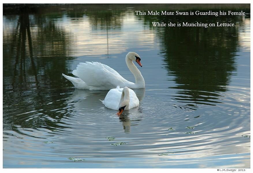 Common Mute Swan Behavior  Cob Protecting Female