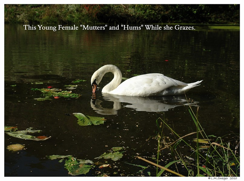 Common Mute Swan Behavior  Some Swans Hum