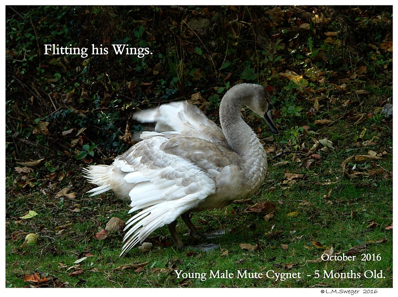 Common Mute Swan Behavior   Flitting Wings