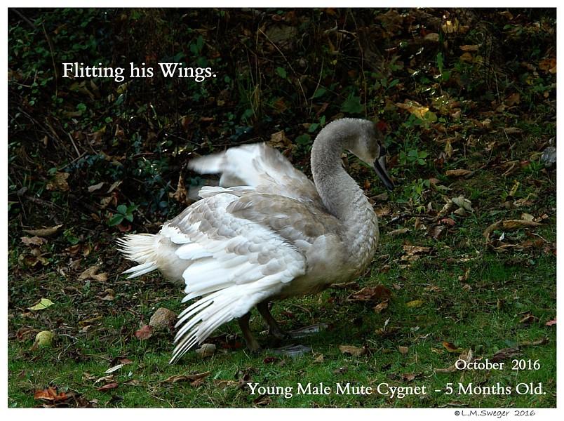 Common Mute Swan Behavior   Flitting Wings