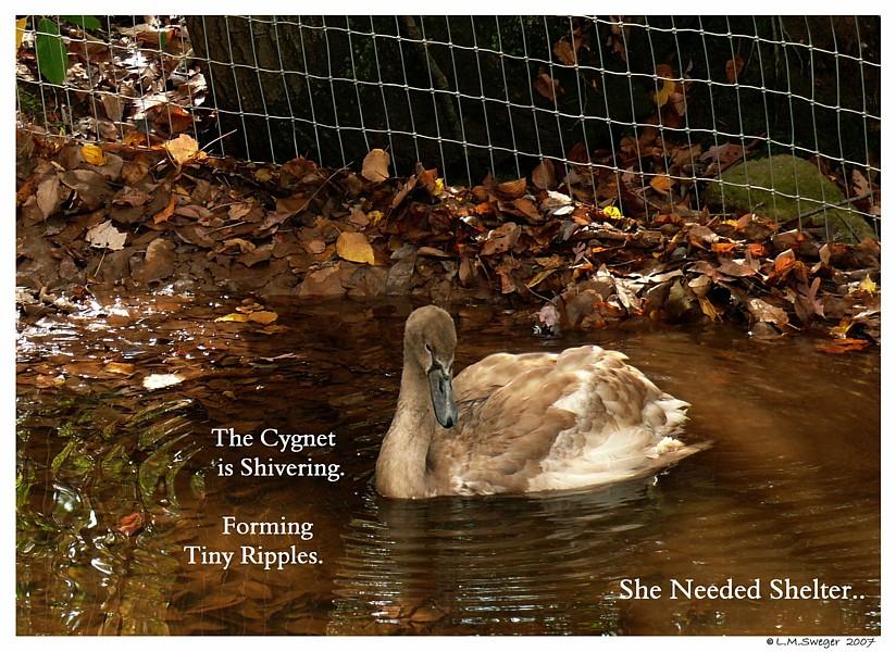 Common Mute Swan Behavior  Winter  Shiverling