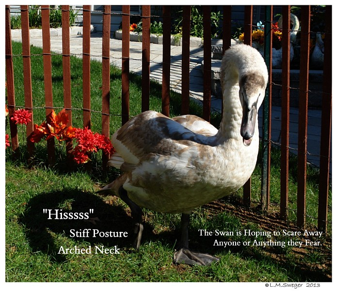 Common Mute Swan Behavior   Protective Fear